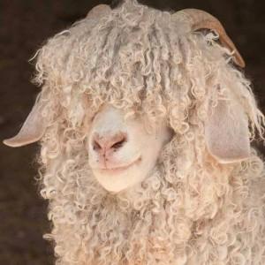 Angora Goat 2