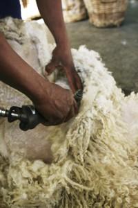 Angora Goat Shearing